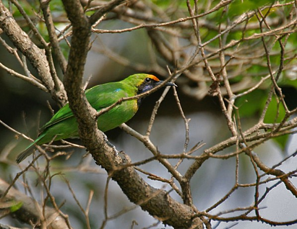 Golden-fronted Leafbird (Chloropsis aurifrons) at Jayanti,