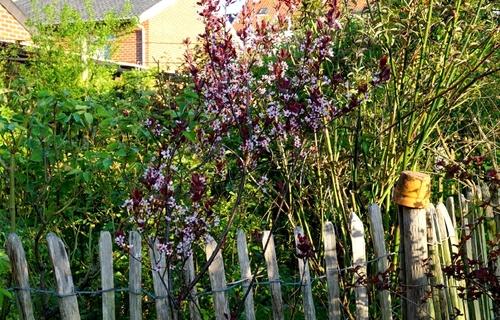 Prunus,Malus