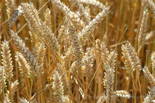 - Santé-Bien être - 10 - L'évolution du blé du néolithique à nos jours -