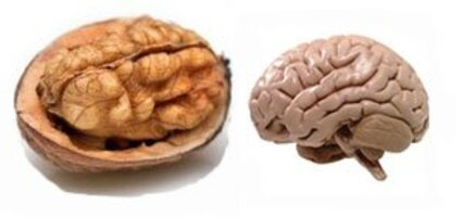 walnut-brain2