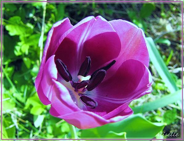 tulipe-2.jpg
