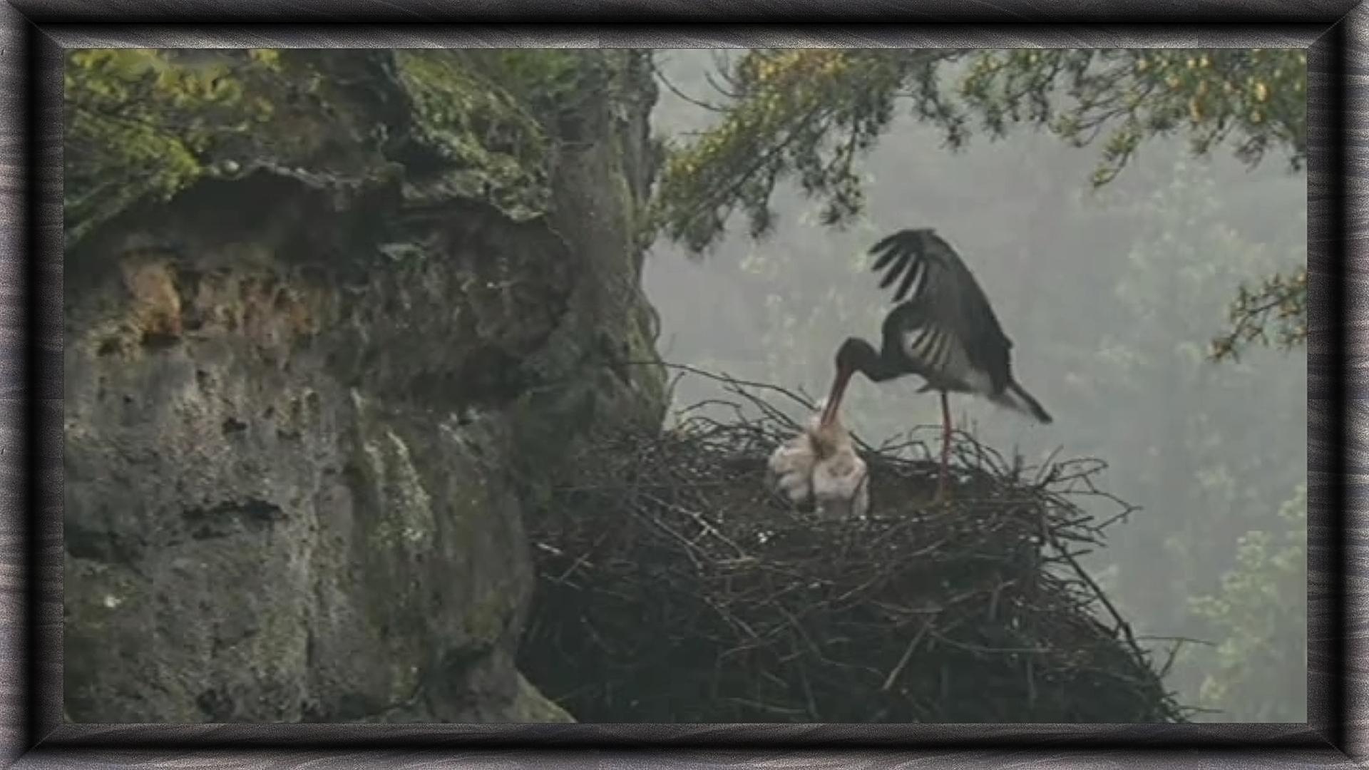 nid de cigogne noire