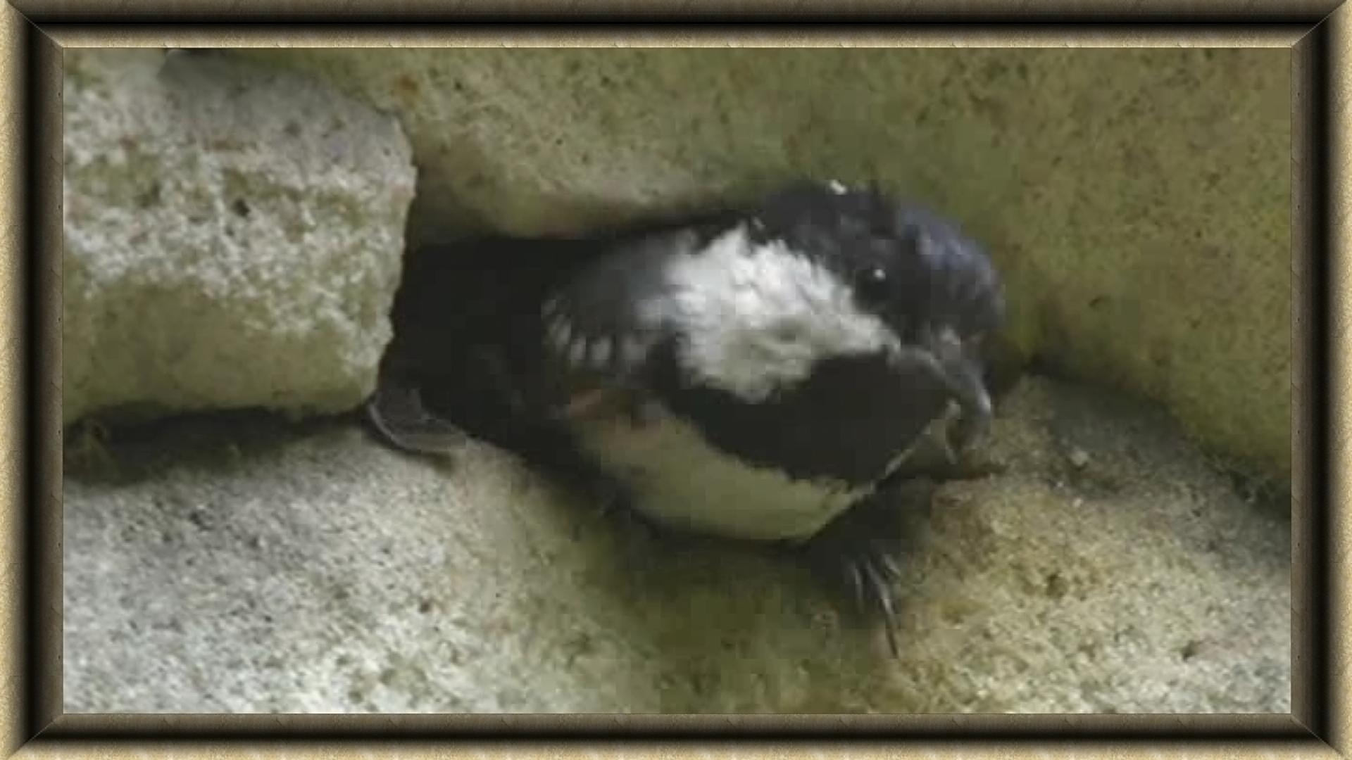 nid de mésange noire
