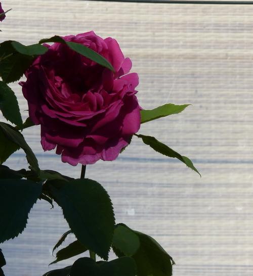 des roses , des insectes et la secheresse