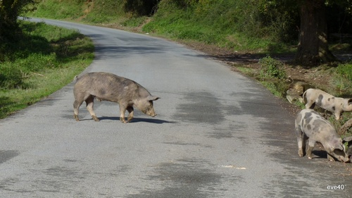 Attention traversée de.......cochons.