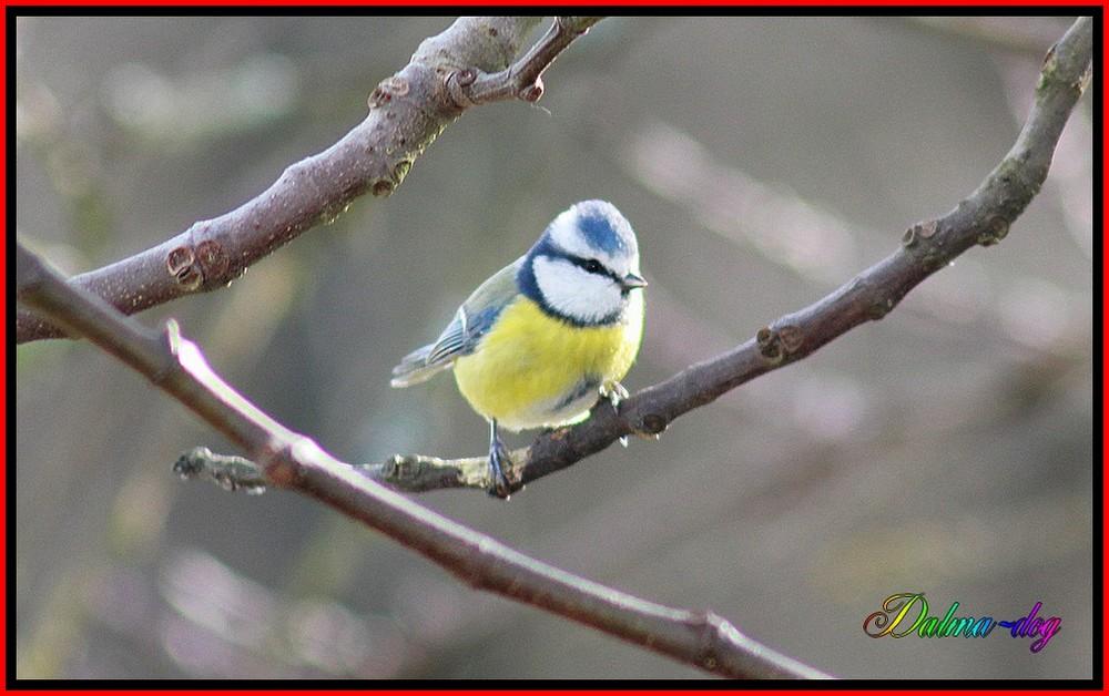 mésange bleu