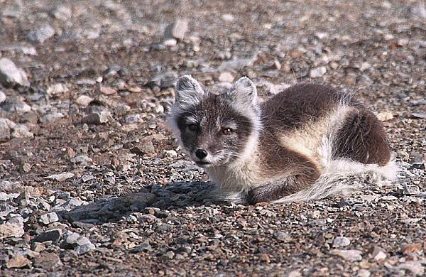 800px-Arctic fox (js) 16