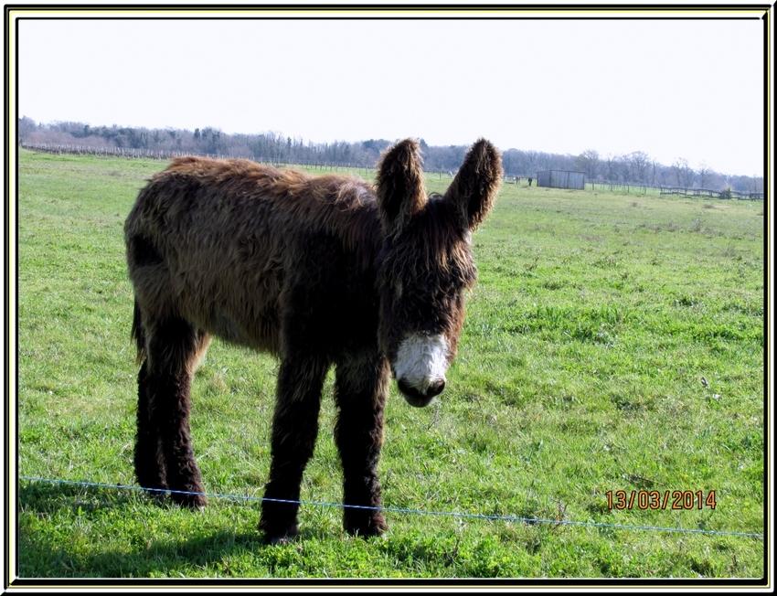 Les ânes d'Oléron