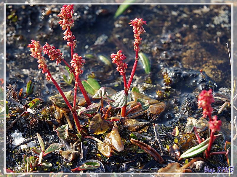 Petite oseille, Oxyrie à deux stigmates, Oxyrie de sorrel, Mountain sorrel, Qungulit (Oxyria digyna) - Dundas Harbour - Nunavut - Canada