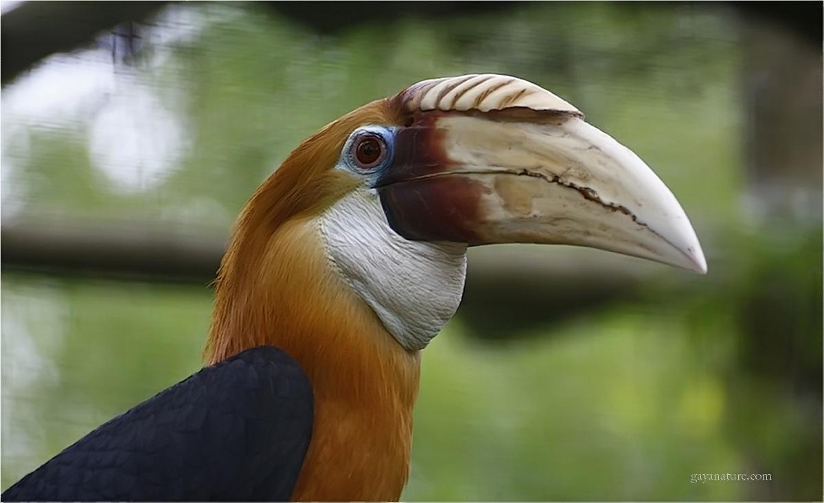 Le Calao Papou (calao asiatique)