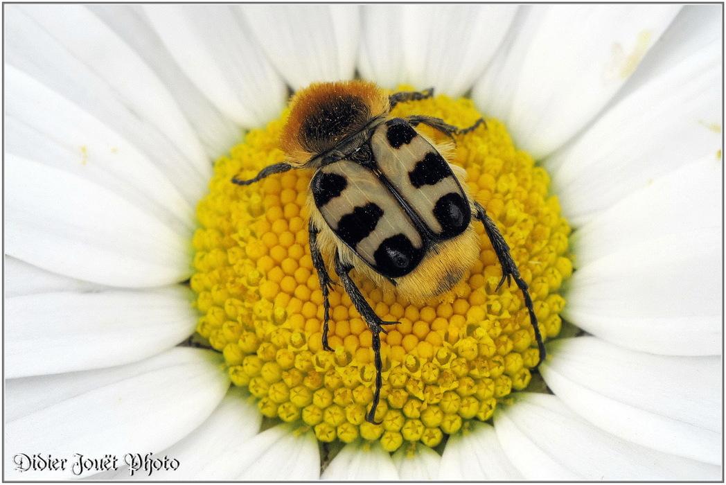 Trichie Fasciée / Trichius fasciatus