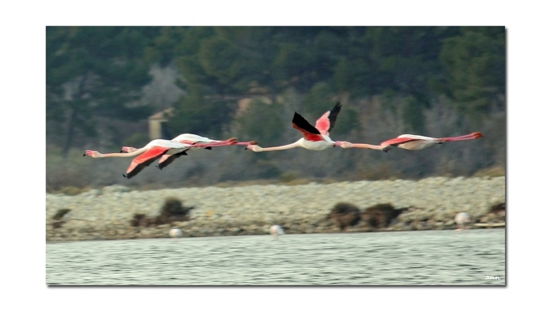 Flamants roses (Etang de Bages -Aude-)