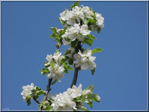 Le Pommier est en fleurs
