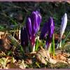 Fleurs - Crocus.jpg