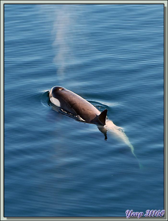Paradise Bay: rencontre avec des orques épaulards (Killer Whale) - Péninsule Antarctique
