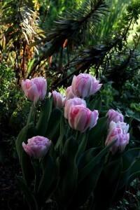 Tulipes Fox Trot5