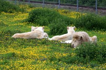 Lion de Kruger