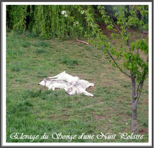 Elevage Husky sieste