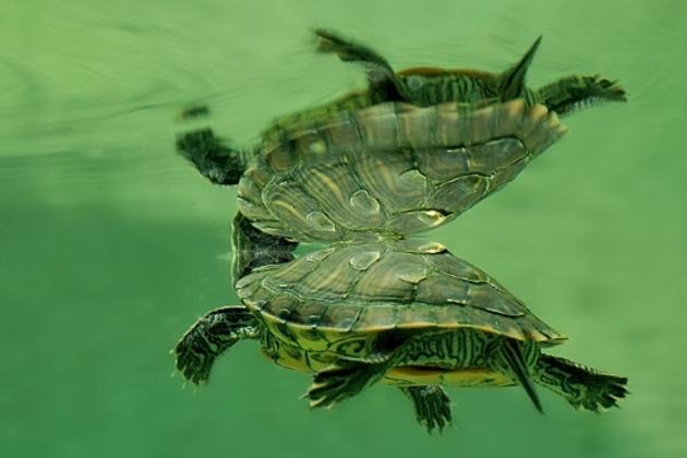 Reflet de tortue