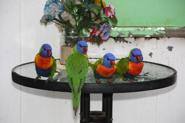 perroquets-vert-Clairwiew-1001--103-.jpg