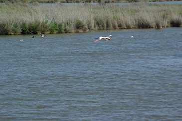 DELTA DE L'EBRE - flamands et canards