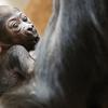 Ce bébé gorille est un miracle pour la mère