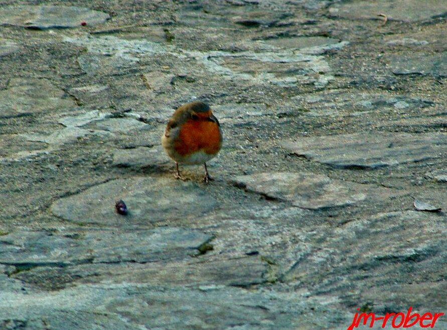 Le chouchou de jardinier: l'intrépide Rouge-gorge