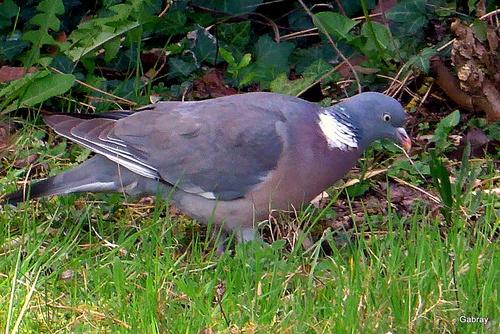 Un pigeon dans mon jardin