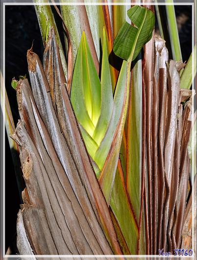 Arbre du voyageur, Ravenale, Ravinala, Traveller's palm (Ravenala madagascariensis) - Nosy Be - Madagascar