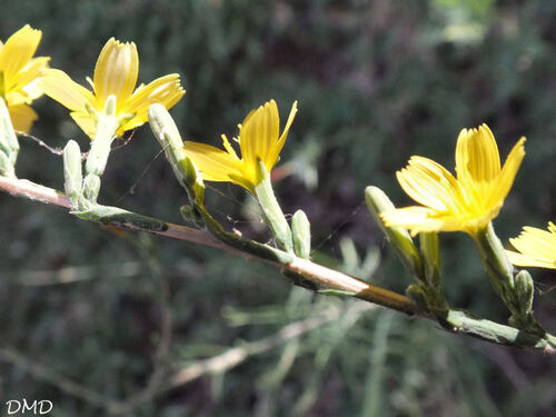 Lactuca viminea - laitue des vignes