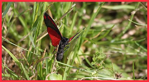 papillon rouge et noir5