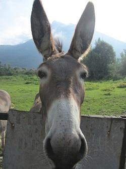 Un bel âne de l'Isère.