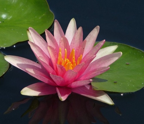 Fleurs cultivées : Nénuphar
