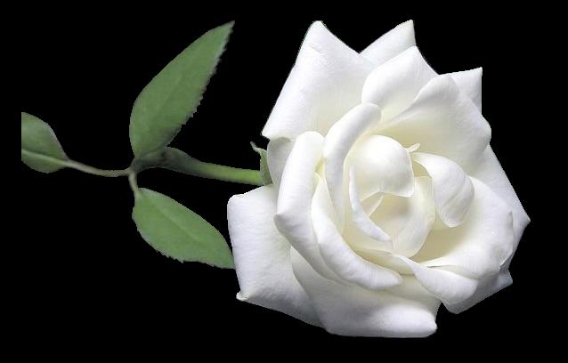 Fleurs rose blanche