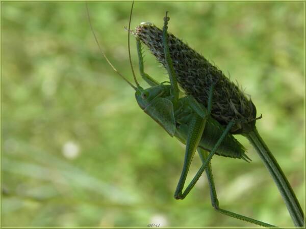 Grande sauterelle verte et partie de cache-cache