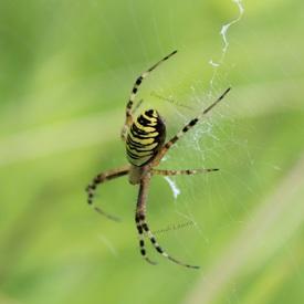 Argiope Bruennichi ou Araignée jaune et noire des Jardins