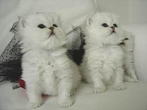 couple chaton persan