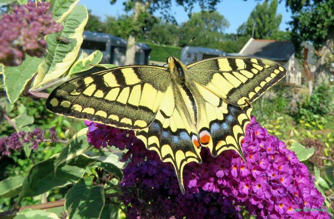 un papillon superbe !