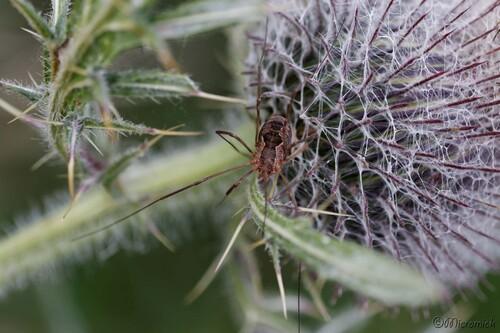 Opilion (Phalangium opilio)