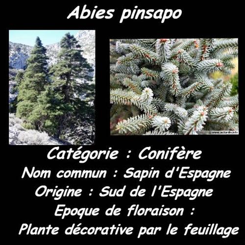 Des Fleurs Et Des Arbres - Abiès Pinsapo