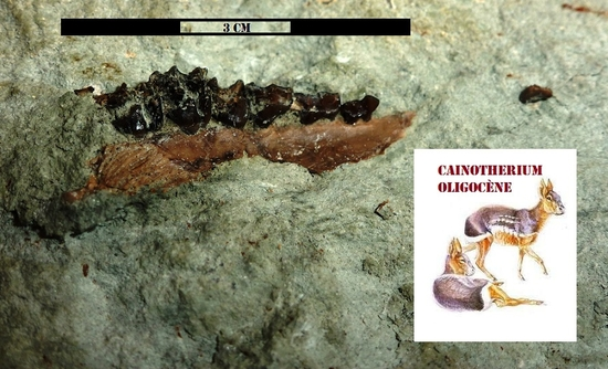 madibule cainotherium