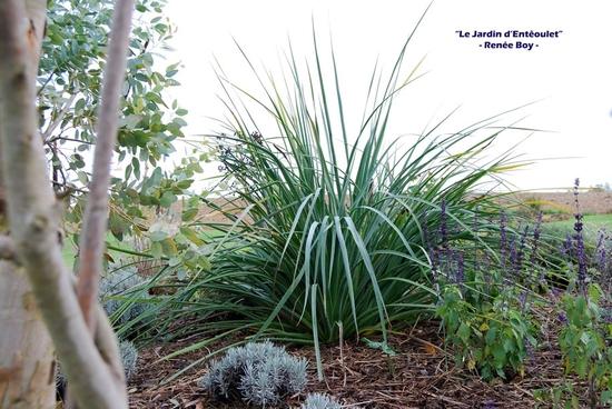 eryngium pandanifolium 2