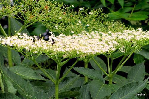 Les fleurs du sureau