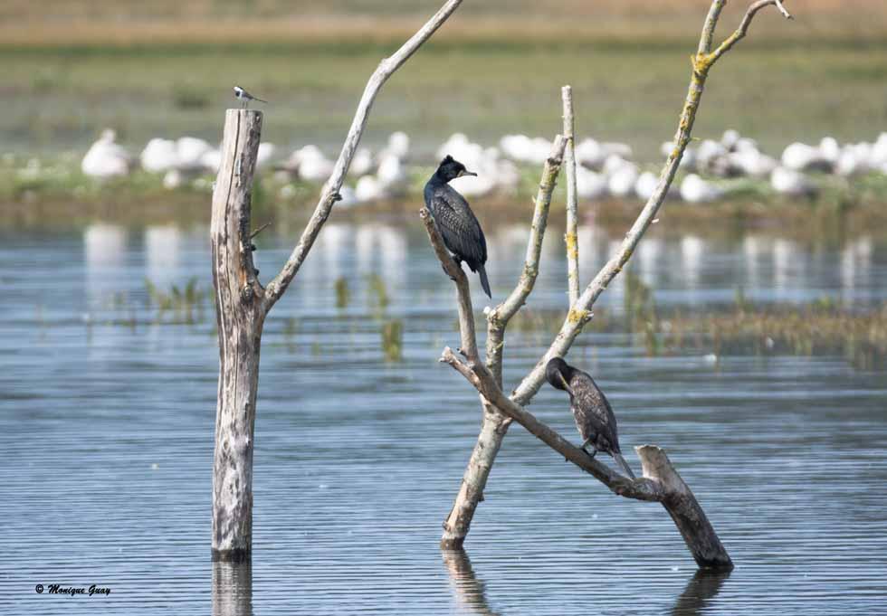 Cormorans et bergeronnette grise