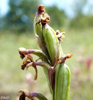 Anacamptis morio - orchis bouffon