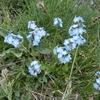 Myosotis des Alpes (Myosotis alpestris)