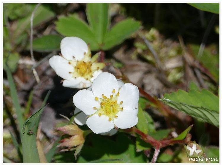 Fleurs sauvages. (Communauté d'Amartia)