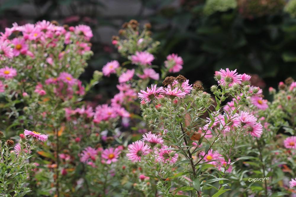 Les reines de septembre au jardin