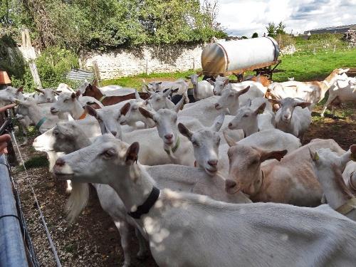 """Visite de la chèvrerie de """"la corne Vaudrille"""" à Savoisy, avec les """"mardis-découvertes"""" de l'OTPC..."""