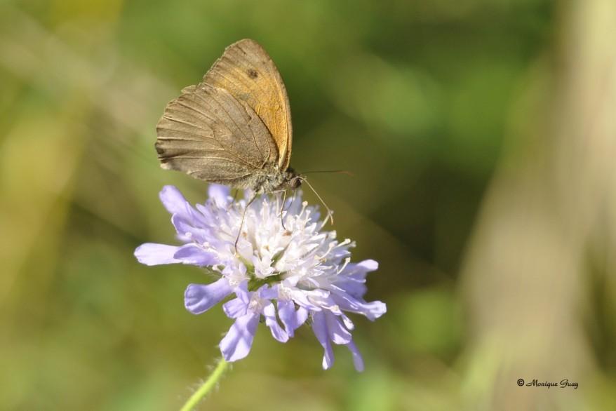 papillon-myrtil-0918.jpg